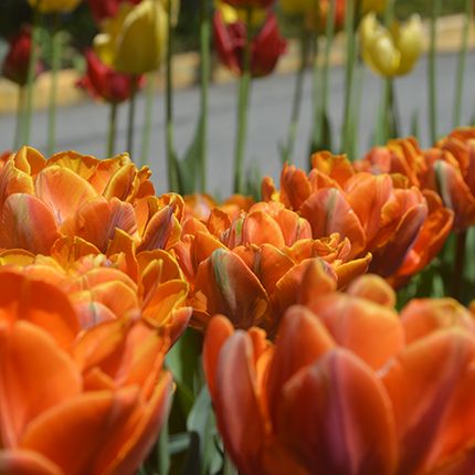 Tulips infront of the SCC Greenery